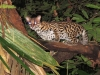 7_margay-new-species-found-in-tropical-rainforest
