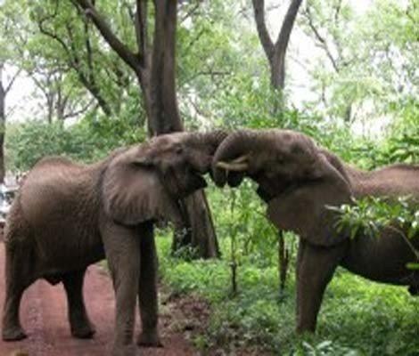 two elephant fighting