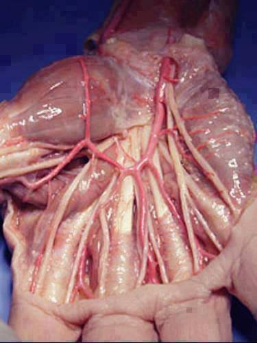 ur palm without skin