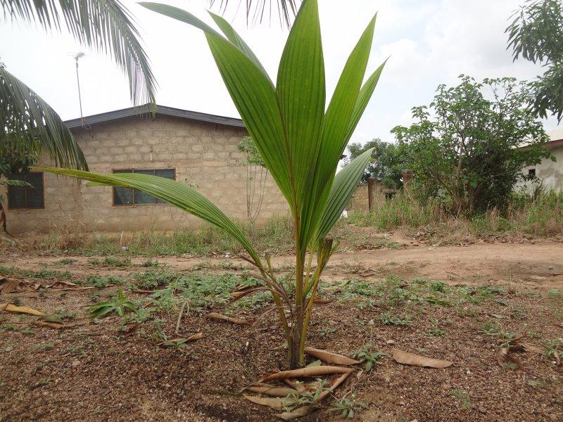 yoing coconut
